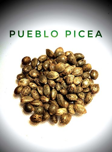 Pueblo Picea Seed Labeled